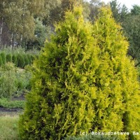Thuja occidentalis 'Aurea'